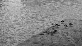 In Seine Ducks | by Ted Drake