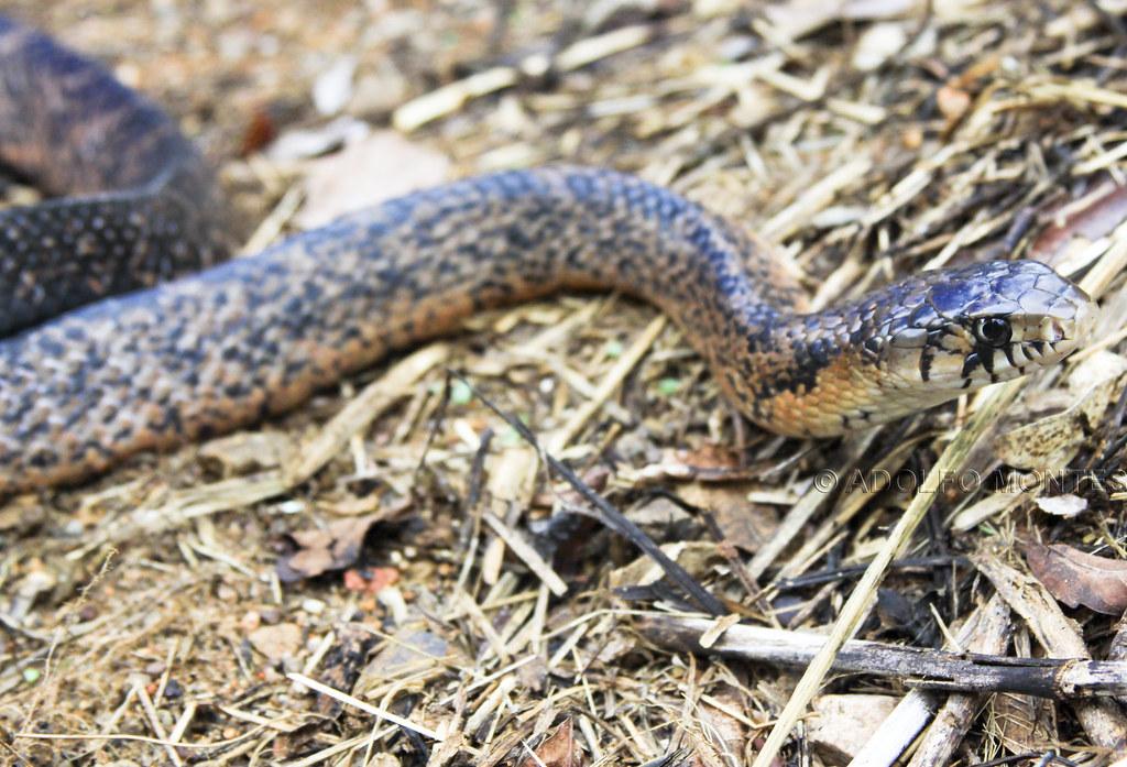 Tlilcoatl - Tilcoates- Indigo Snake - Drymarchon corais