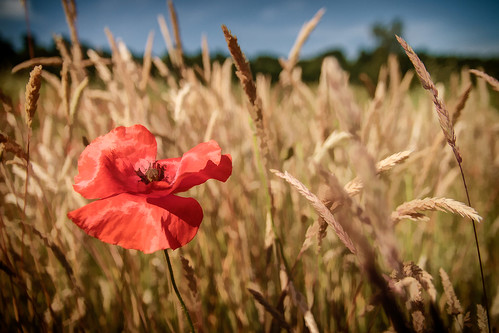 flowers red summer england plant flower field flora unitedkingdom surrey poppies binscombe papaverrhoeas commonpoppy