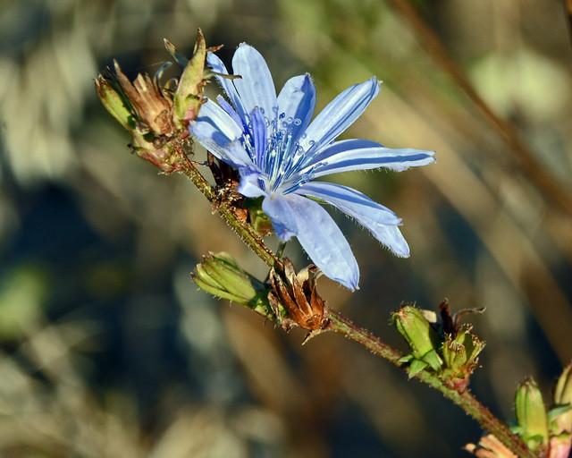 DSC_3966=2cornflower
