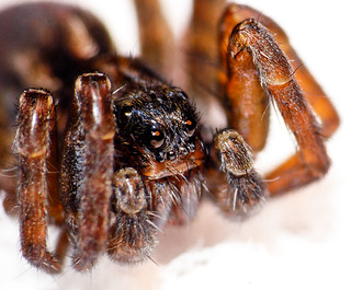 20141024-tiny-spider-sharpest-IMG_1124 | by maxrockbin