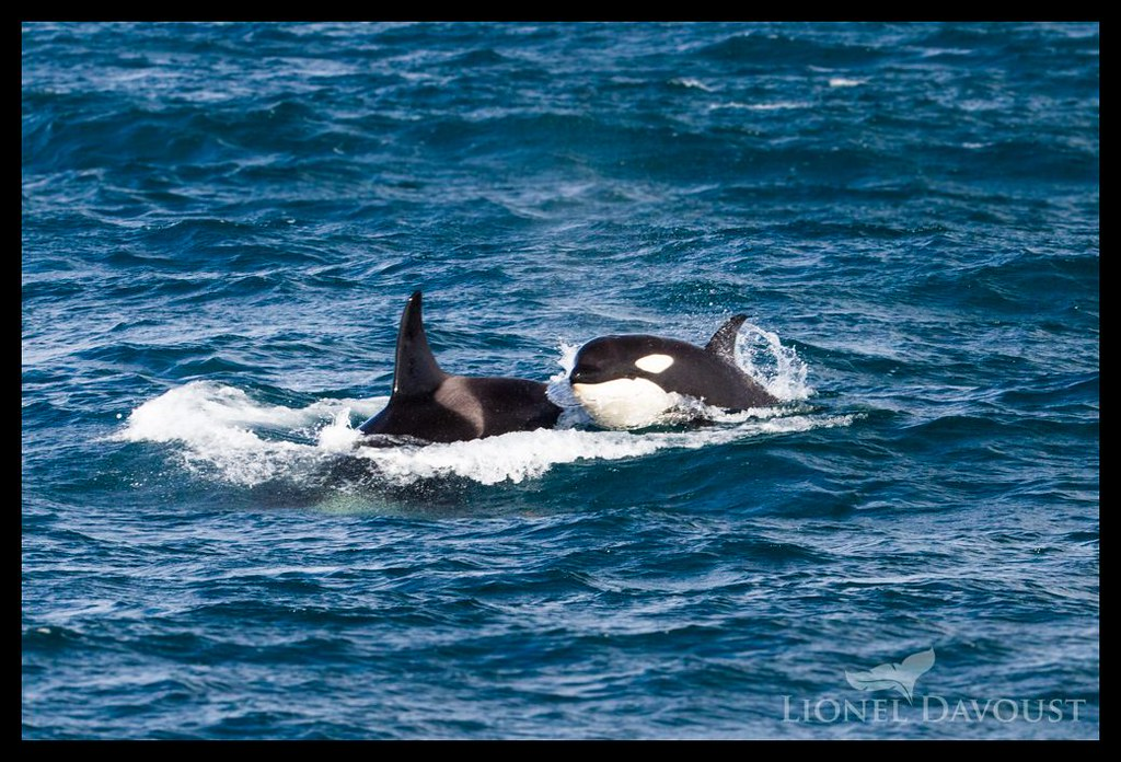 Foraging orcas