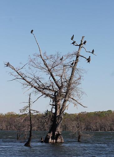 bird lakemartinlouisiana cormorant doublecrestedcormorant phalacrocoraxauritus cypress baldcypress taxodiumdistichum swamp