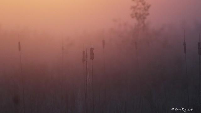 1.20781 Habitat du Troglodyte à bec court au lever de soleil / The Sedge Wren's habitat at the sunrise..