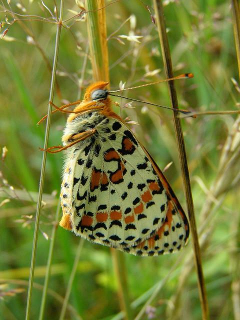 Spotted fritillary butterfly (Melitaea didyma)