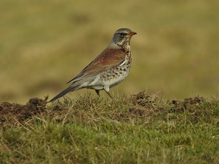 Fieldfare at Haslingden Grane in Rossendale, Lancashire, England - January 2017 | by SaffyH