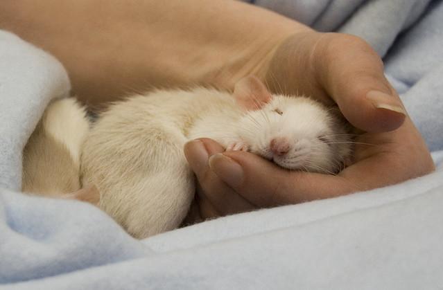 Calling all rats!!