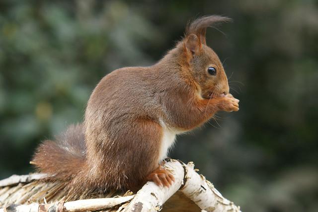 eekhoorn in de tuin (squirrel in the garden)