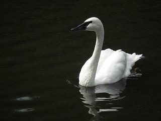 Trumpeter Swan Gulbė trimitininkė amerikinė | by Bagdo