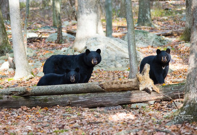 ♥ Momma Bear & Cubs ♥