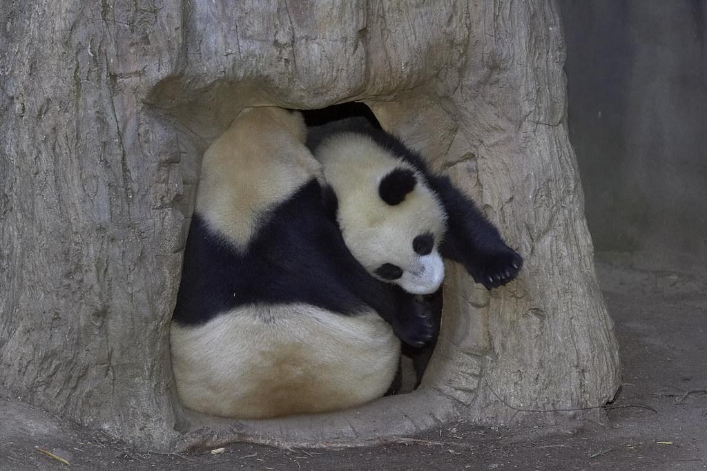 San Diego Zoo Panda | zoo sandiegozoo org/cams/panda-cam