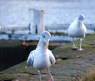 Seagull at Whitby Harbour