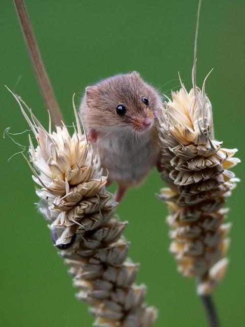 Harvest Mouse - British Wildlife Centre