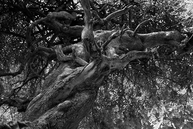 The old tree from below