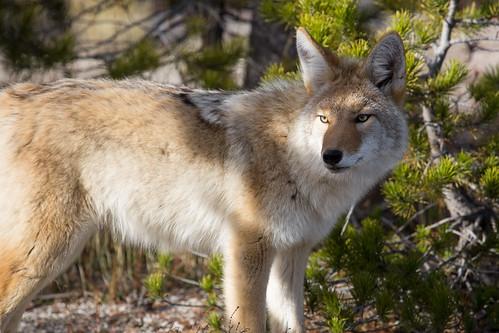 Coyote   by YellowstoneNPS
