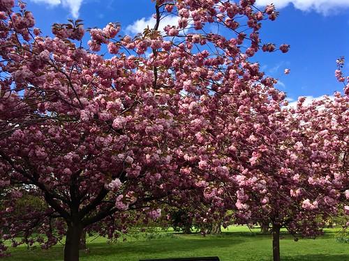 Greenwich Park cherry blossom avenue 2017 | by Fran Pickering