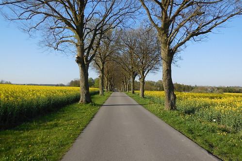 forår spring vej road træ tree mark field raps crop yellow
