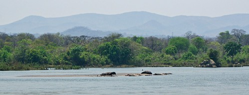 Hippos in the Shire river at Majete wildlife reserve | by David Davies