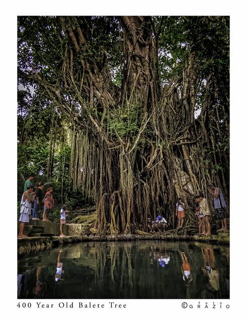 400 Year Old Balete Tree
