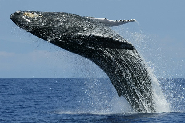 Blue Whale | Tagged as an endangered species category the bl… | Flickr