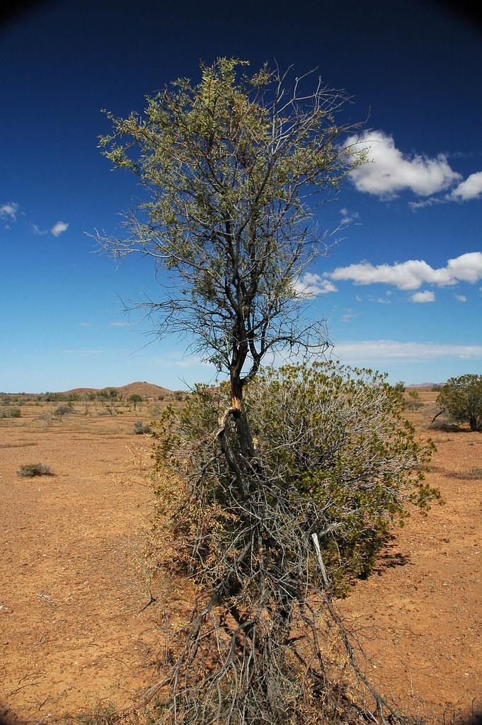 Acacia tree (near Old Wirrealpa Mine, north of Blinman-Wir