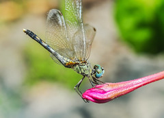 Diplacodes trivialis (Male)