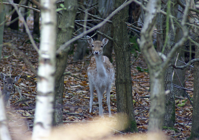 Doe in the woods