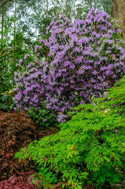 National Rhododendron Garden, Mt. Dandenongs