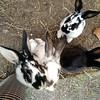 bunnies at Camping Zizkov, Prague