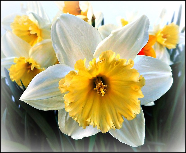 Narcissus Flower..