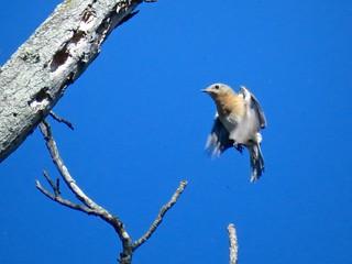 Eastern Bluebird | by Justin Lee (NoNameKey)