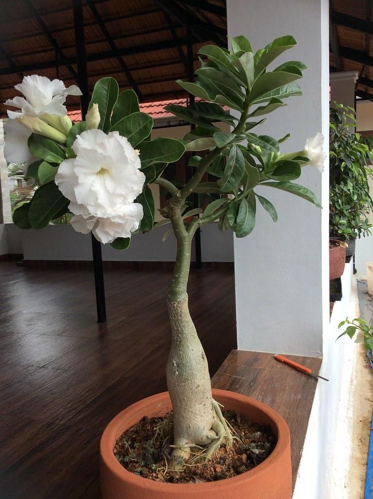 Adenium bonsai white -