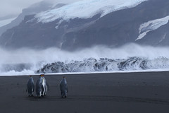 King Penguins at Corinthian Bay