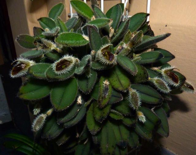 Dresslerella hirsutissima species orchid