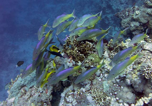 Yellowsaddle goatfish, Parupeneus cyclostomus, Tiran, Red Sea