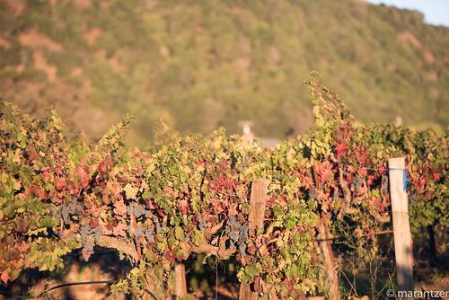 california usa digital nikon unitedstates unitedstatesofamerica grapes napavalley napa nikkor dslr winecountry grapevines nikonlens d810 afsvrzoomnikkor70200mmf28gifed geotaggerpro2 solmetageotaggerpro2
