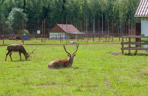 animal zoo deer belarus stankovo