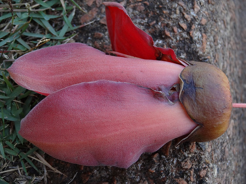 malvaceae angiosperm bombacaceae silkcottontree bombaxceiba