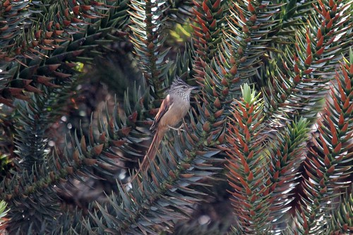 Araucaria Tit-Spinetail | by Birding In New Jersey