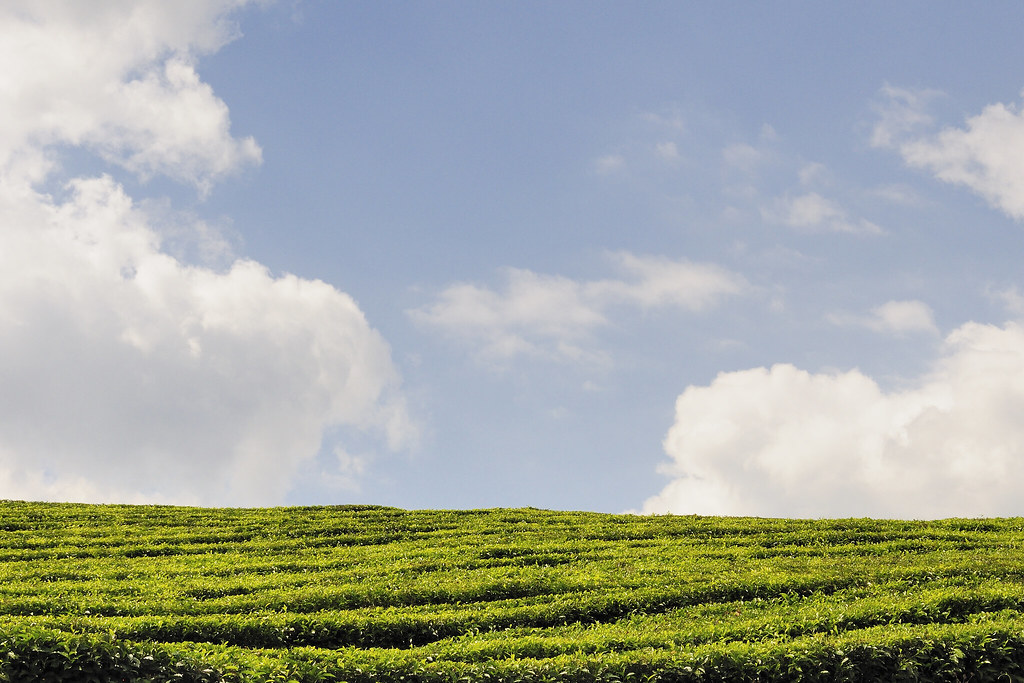 Tea plantation on Honde Valley road | Day 9. This picture ...