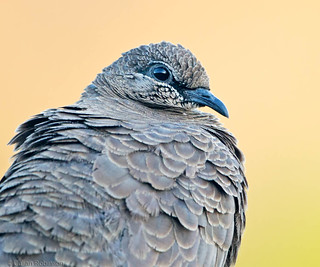 White-quilled Rock-pigeon | by aaardvaark