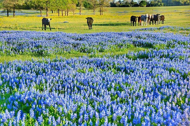 We got the Monday morning blues... Gorgeous capture by Dana Goolsby @myetx in Houston County - Texas.