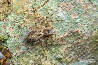 Jumping spider (Phaeacius sp.) - DSC_2280