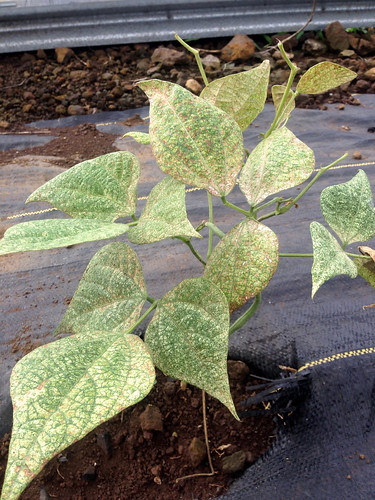 Bean: Spider mites feeding injury | by Plant pests and diseases