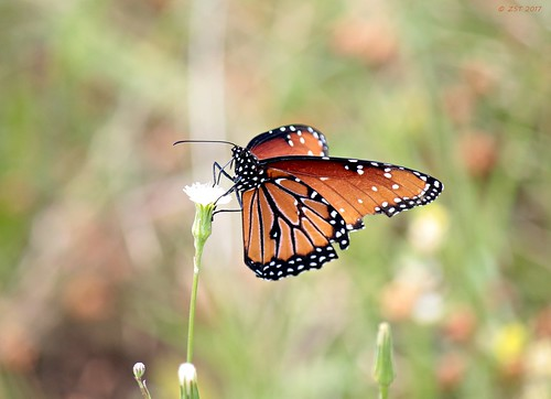 butterfly containmentpond danausgilippus insect nature naturewalk queen sterlingridge texas thewoodlands viewsoftexas zeesstof