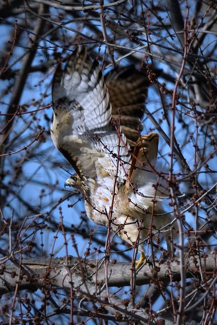 Buse à queue rousse ------ Red-tailed hawk ------ Ratonero de cola roja