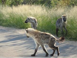 Hyena | by hopstepper