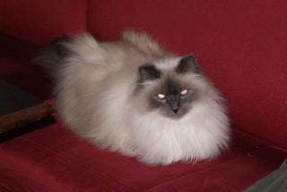 hants - bobo the cat in junction tavern gosport 21-10-14 JL