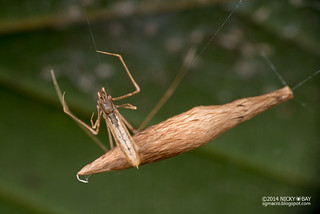 Comb-footed spider (Rhomphaea sp.) - DSC_6056