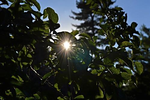 sunset england tree nature leaves silhouette fruit garden shropshire britain nikond3200